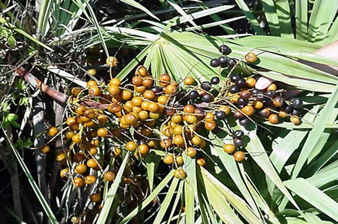 Saw palmetto extract beadlets